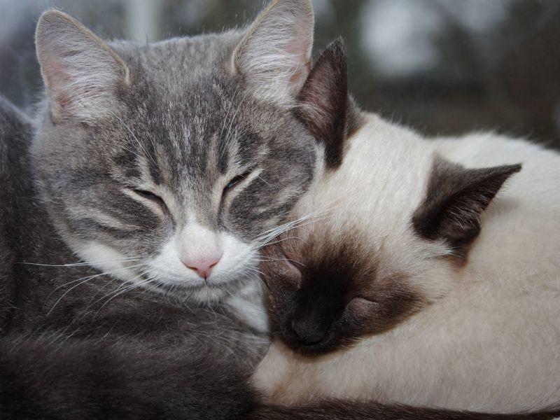 Siamkatzen sind verschmust und lieben die Gesellschaft
