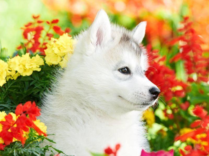 Schöner Hund, schöner Frühling: Junger Siberian Husky bei einem seiner ersten Ausflüge — Bild: Shutterstock / Dmitry Kalinovsky