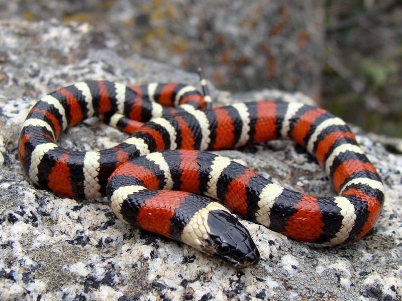 Sierra-Mountain-Koenigsnatter-Schlange-schwarz-weiss-rot-stein