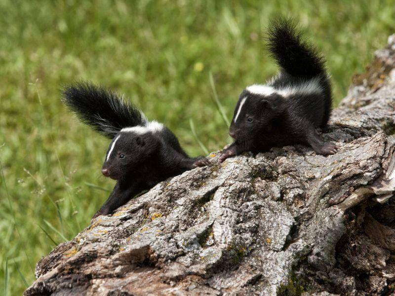 Stinktiere haben mit ihrem weißen Streifen auf dem Rücken eine echte Hingucker-Frisur