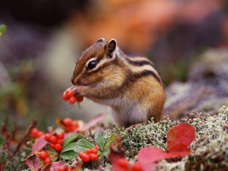 Streifenhörnchen: Ein Klassiker unter den gestreiften Tieren