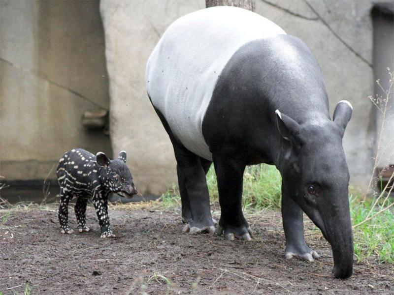 In der Nähe seiner Mutter fühlt sich das Tapir-Baby aus dem Leipziger Zoo am wohlsten