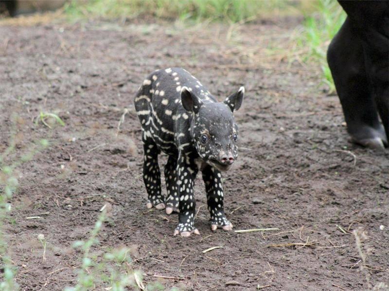 Süßer Blick: Das baby-Tapir ist auf diesem Bild gerade einmal eine Woche alt