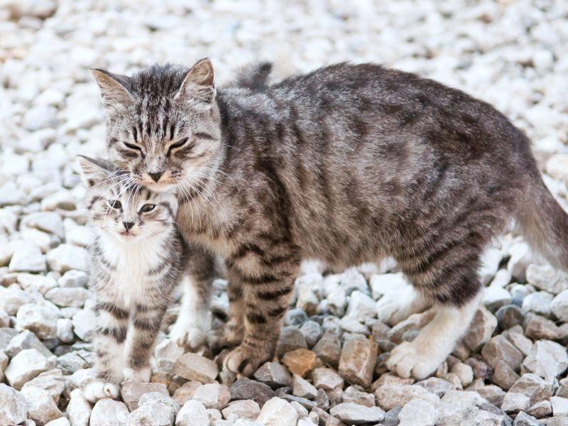 Einmal in groß, einmal in klein: Katze und Kitten mit wildem Muster — Bild: Shutterstock / Dmitry Bruskov
