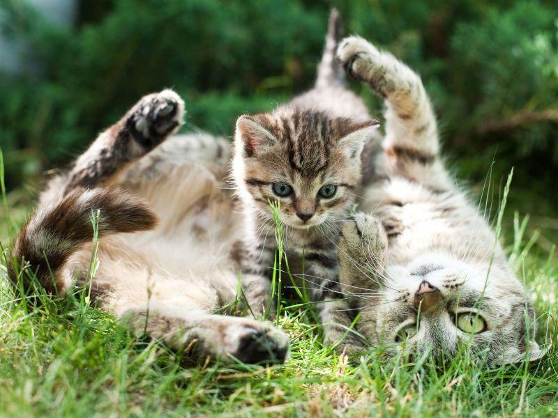 Diese Katze und ihr Kitten sehen sich nicht nur ähnlich, sie lieben es auch beide, zu Spielen — Bild: Shutterstock / CoolR