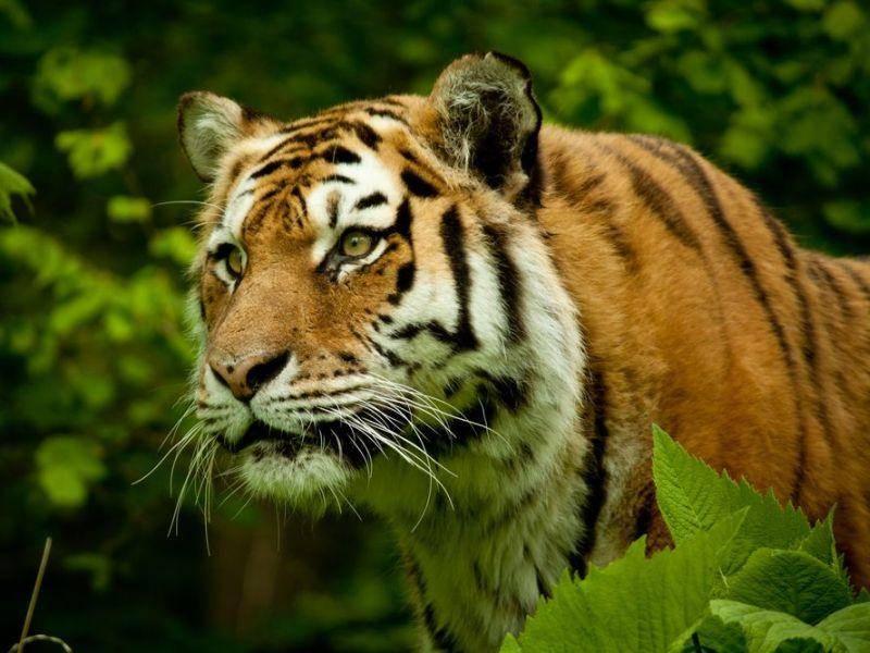 Tiger: Der Streifenlook macht ihn zur schönsten Raubkatze der Welt