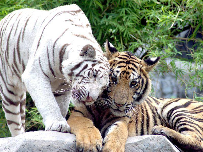Tiger: Unverwechselbar mit ihrer auffälligen Streifenzeichnung