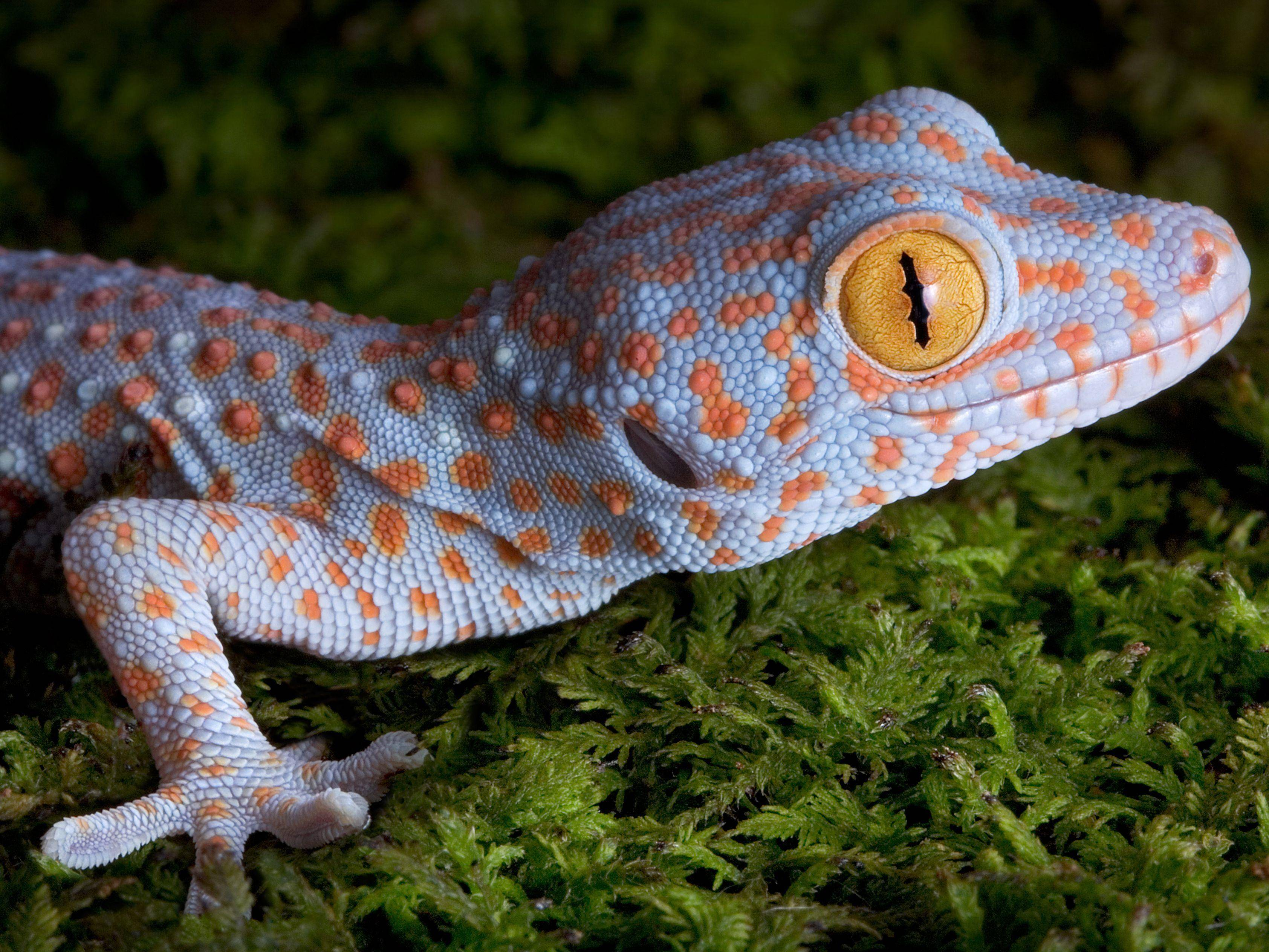 Tokeh Gecko: Eine farbenfrohe Echse — Bild: Shutterstock / Cathy Keifer