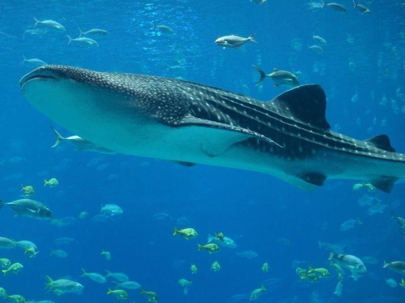 Platz 2: Der längste jemals gemessene Walhai war 13,7 Meter lang