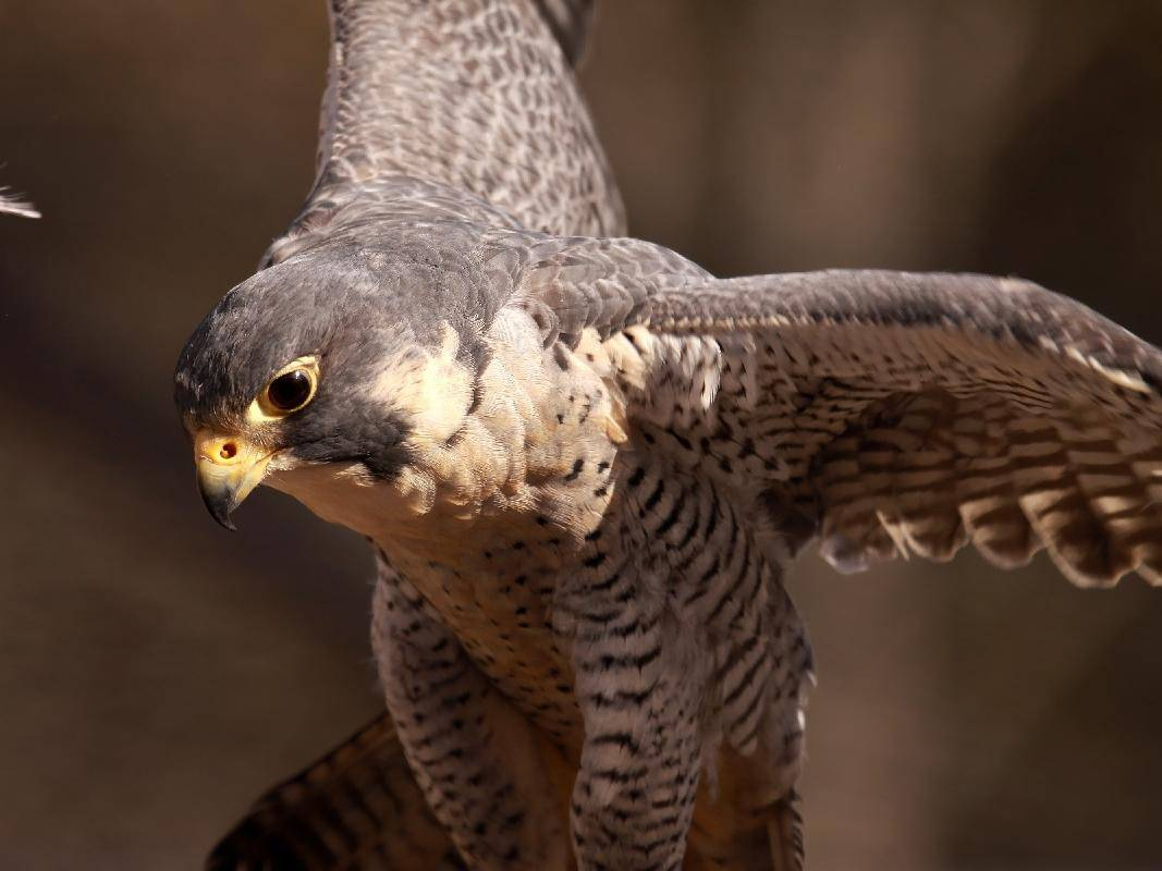 Wanderfalke-Vogel