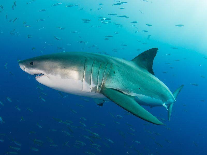 Platz 5: Der weiße Hai kommt auf ein Länge von acht Metern