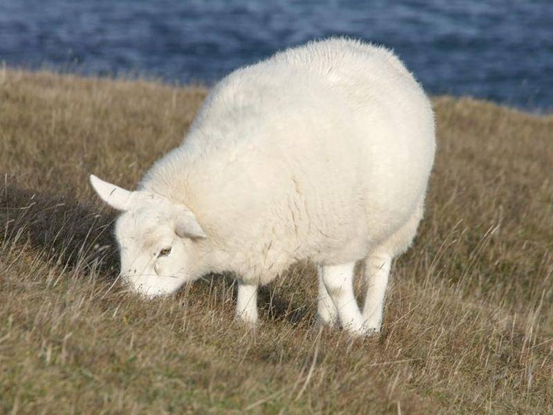 Schaf: Ungeschoren haben die Tiere eine beeindruckende Wolle
