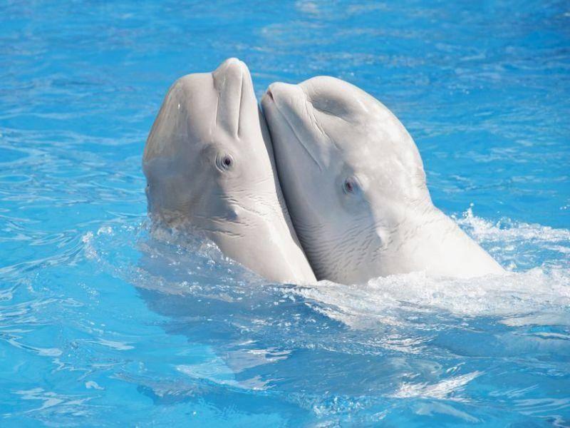 Freundschaft unter Meeresbewohnern: Zwei Weißwale im kühlen Nass