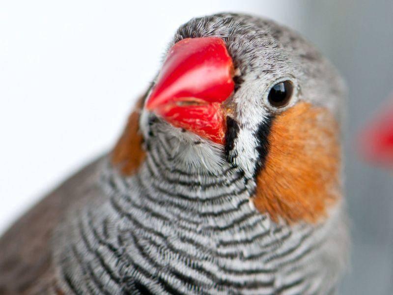 Die Streifen teilt der Zebrafink mit seinem Namensvetter — Bild: Shutterstock / GekaSkr