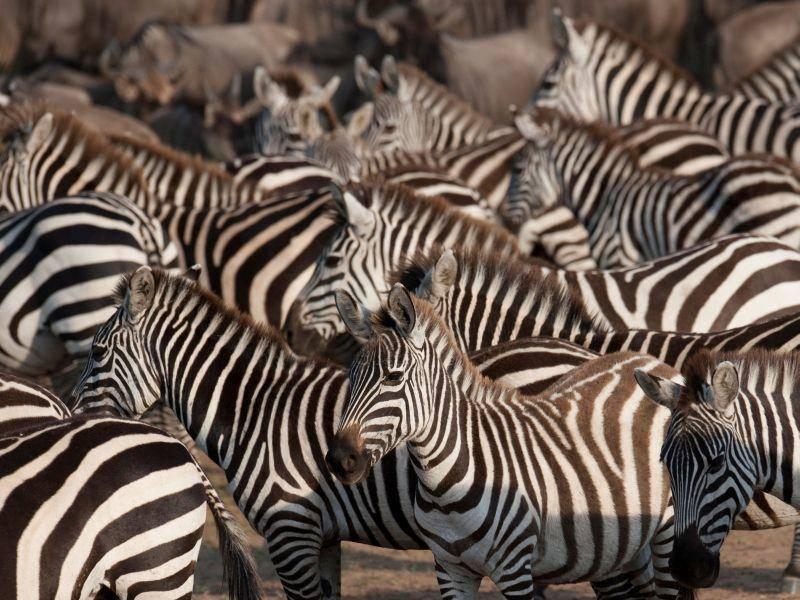 Zebras: Mehr Streifen gehen nicht! — Bild: Shutterstock / RHIMAGE