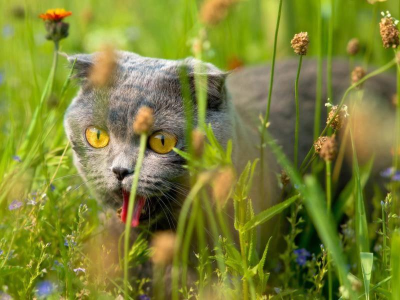 Britisch-Kurzhaar-Katze macht die Blumenwiese unsicher