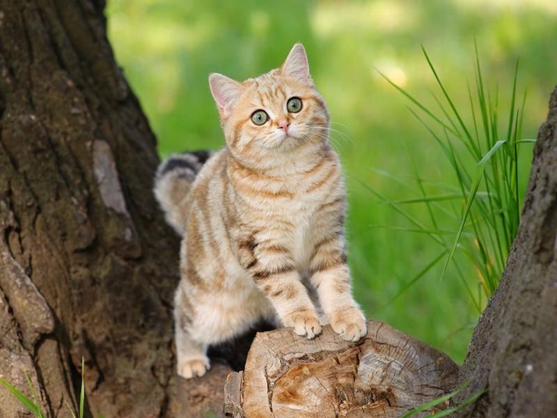 Britisch-Kurzhaar-Katze behält den Überblick in freier Natur