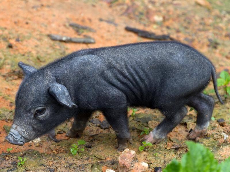 Asia-Ferkel: Schwarzes Wildschwein aus Thailand