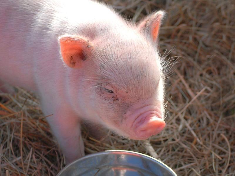 Ferkel in Schweinchenrosa beim Trinken