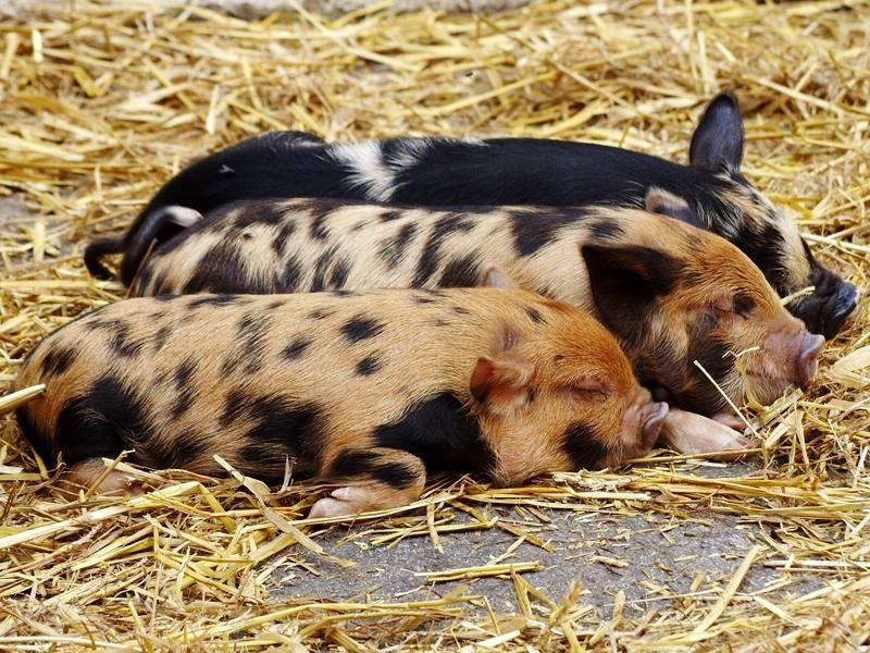 Müde Ferkel: Die drei Schweinchen von der Schlafstelle