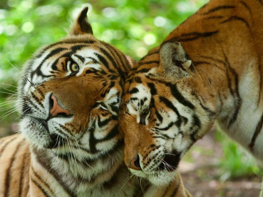 Tierliebe bei Tigern: Einfach schön