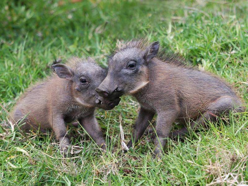 warzenschwein-ferkel-wiese