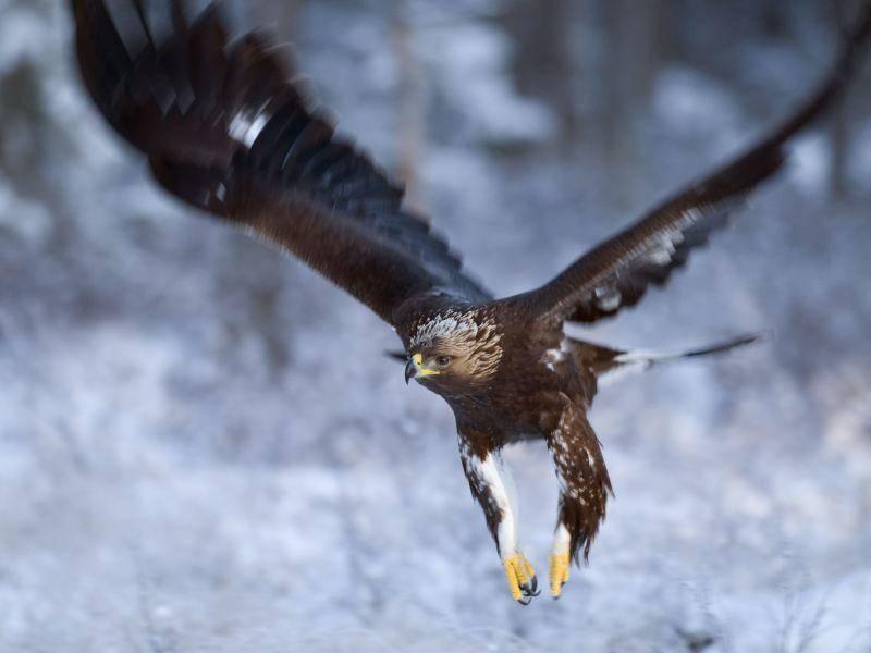 Adler: Das stärkste Tier in der Luft – Bild: Shutterstock / BMJ