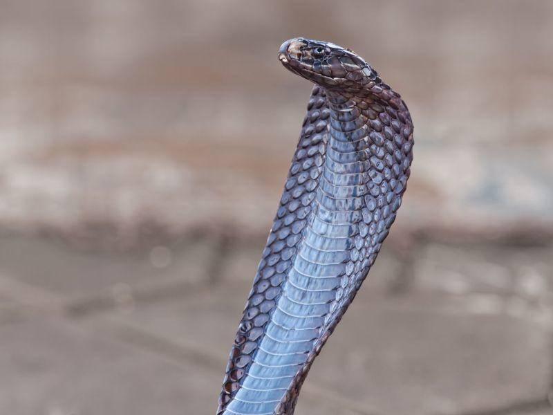 Uräusschlange: Besitzt ein extrem giftiges Nervengift — Bild: Shutterstock / OPIS Zagreb