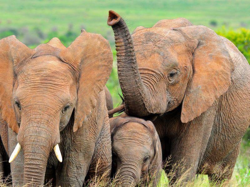 Afrikanischer Elefant: Mit sieben Tonnen das schwerste Landtier überhaupt — Bild: Shutterstock / john michael evan potter