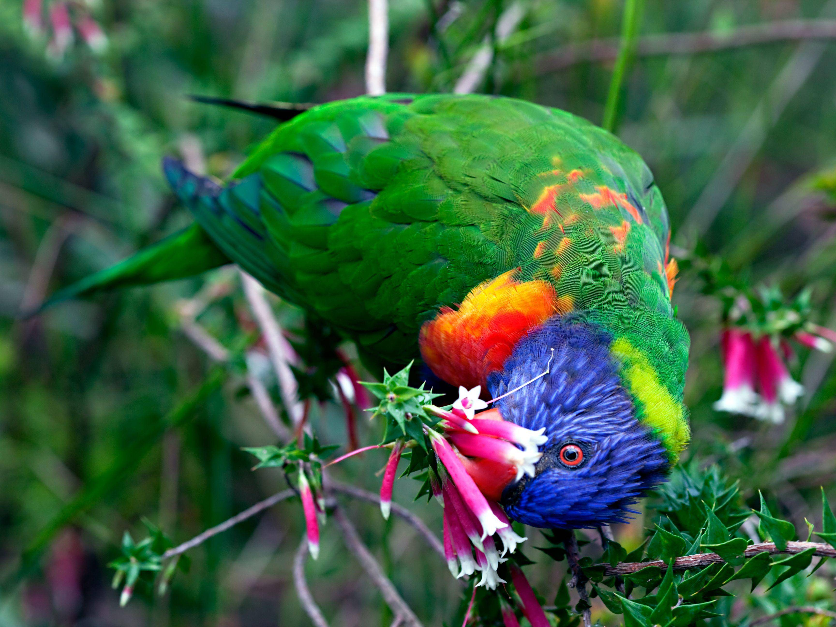 Wow, was für Farben! Dieser kunterbunte Allfarblori hat es euch angetan und ist unter den ersten Zehn dabei! — Bild: Shutterstock / Peter Waters