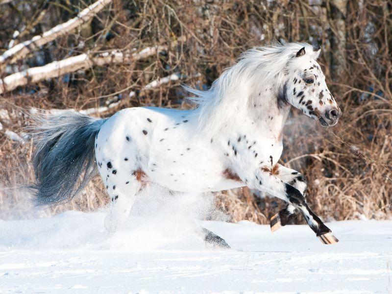 Schnell wie der Wind und niedlich gepunktet: Appaloosa-Pony — Bild: Shutterstock / Kletr