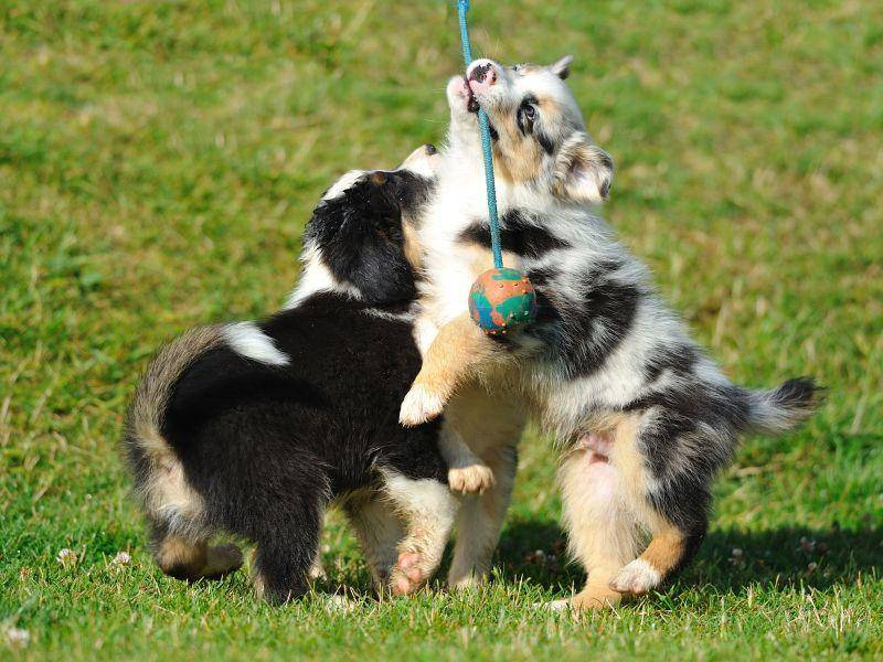 Australian Sheperds: Ein Hundebaby kommt selten allein — Bild: Shutterstock / Stanislav Duben