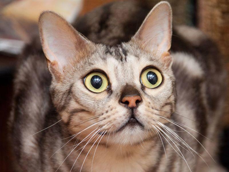 Bengalen gelten als äußerst aktive, neugierige Katzen, die manchmal sogar apportieren können — Bild: Shutterstock / marilyn barbone
