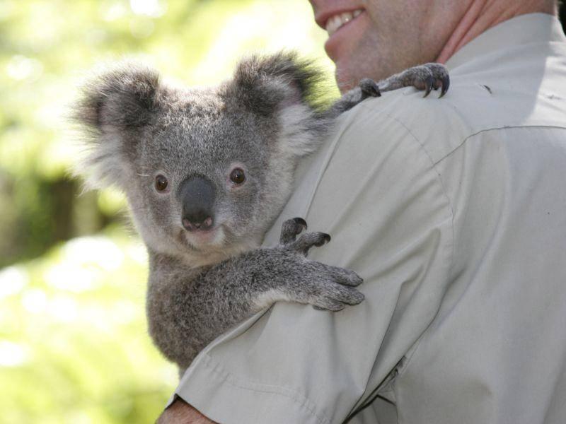 ... weil der Koala einfach zum Knuddeln ist — Bild: Shutterstock / BMCL