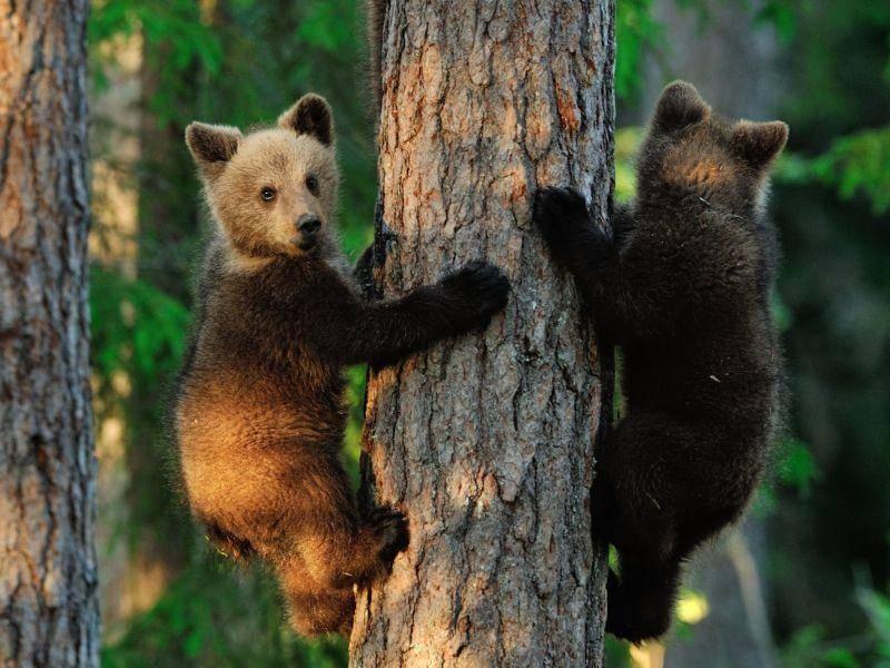 Zwei Bärenbabys zeigen, was sie am besten können: Klettern! — Bild: Shutterstock / Erik Mandre
