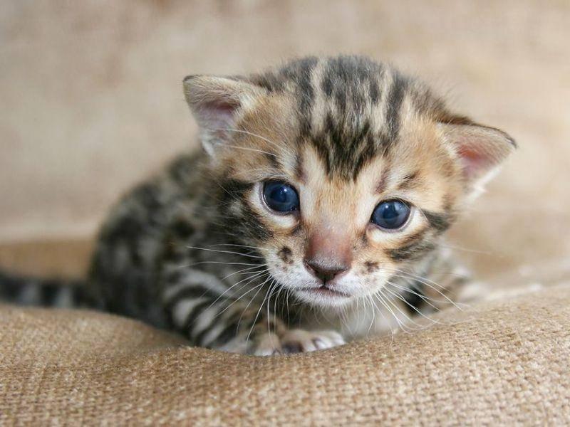 Heute werden keine Wildkatzen mehr in die Bengal Rasse eingekreuzt — Bild: Shutterstock / Robynrg