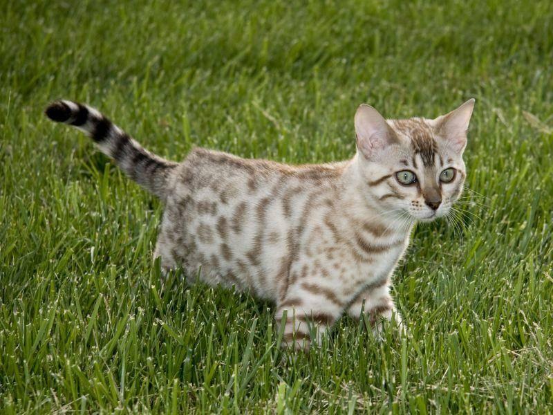Bengalen lieben lange Katzenspaziergänge — Bild: Shutterstock / Steve Heap