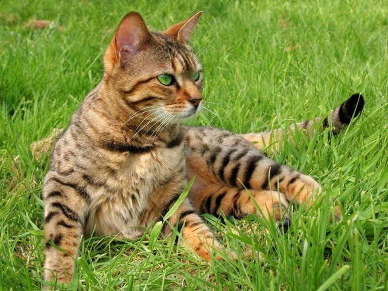 Die Bengal hat ihr Streifenmuster von ihrer entfernten Verwandtin, der asiatischen Leopardkatze geerbt — Bild: Shutterstock / marilyn barbone