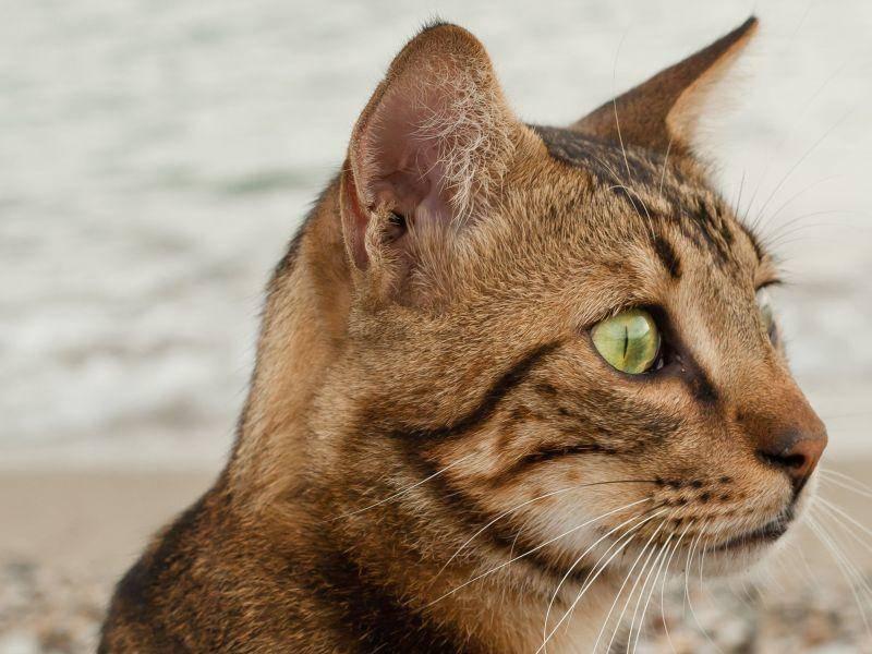 Charakteristisch für die Bengal ist ihr schönes Gesicht und die leuchtenden Katzenaugen — Bild: Shutterstock / Saida Shigapova