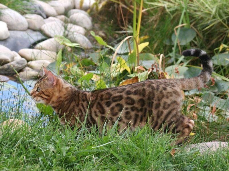 Die meisten Bengalen sind bei Weitem nicht so wasserscheu wie andere Katzen — Bild: Shutterstock / Robynrg