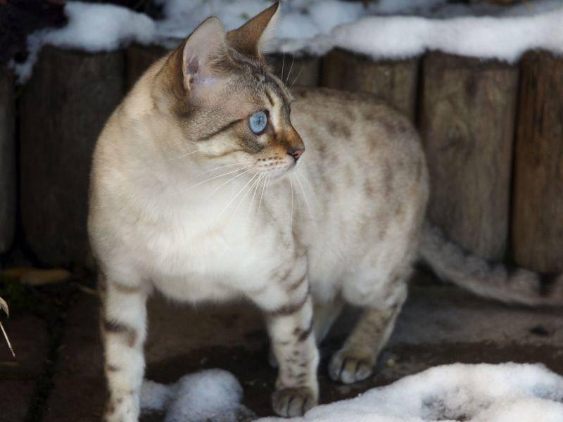 Ein Schneespaziergang ist für lebhafte Katzen wie Bengalen ein großes Abenteuer — Bild: Shutterstock / MARKABOND