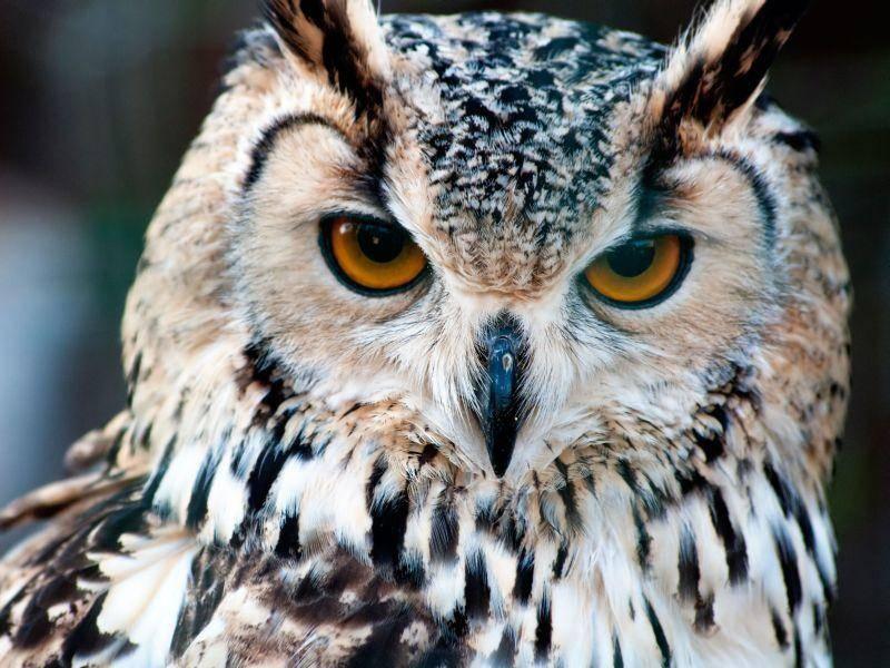 ... weil Eulenaugen von Natur aus so schön leuchten — Bild: Shutterstock / Kirill__M