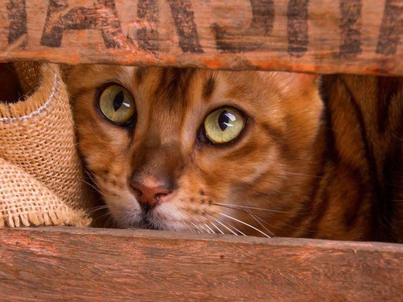 ... weil man Katzen ihre Abstammung von Wildkatzen noch ansieht und sie das besonders faszinierend macht — Bild: Shutterstock / AnnaIA