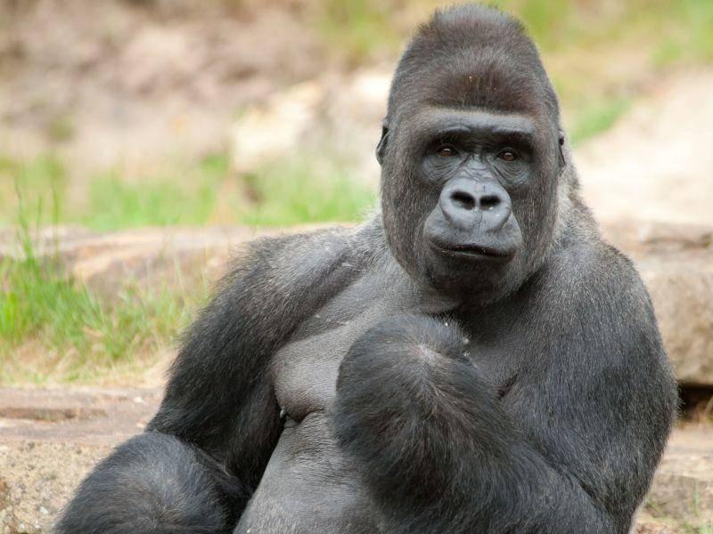 Gorilla: Stemmt 900 Kilogramm in die Höhe — Bild: Shutterstock /Eric Gevaert