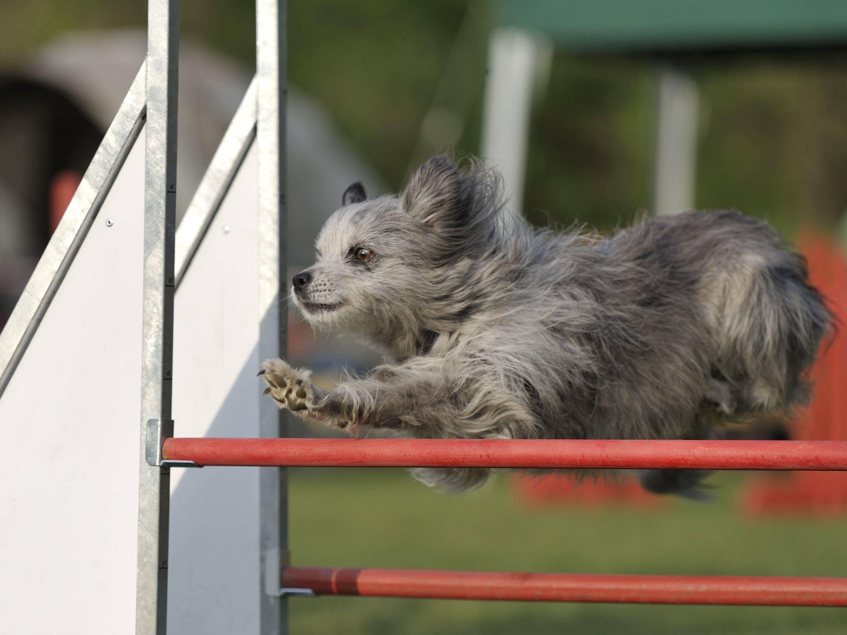 Das Hürdenspringen im Agility-Hundeparcours macht diesem Berger des Pyrénées sichtlich Spaß — Bild: Shutterstock / s5fotke