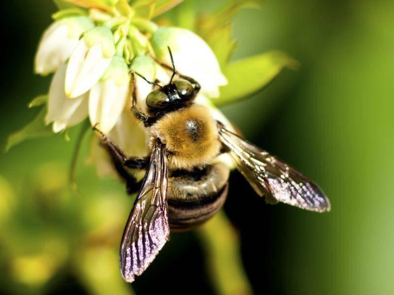 Biene: Besonders fleißig bei Sonnenschein — Bild: Shutterstock / Betty Shelton