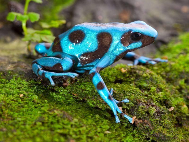 Leuchtender kleiner Dschungelbewohner: Blauer Baumsteigerfrosch — Bild: Shutterstock / Dirk Ercken