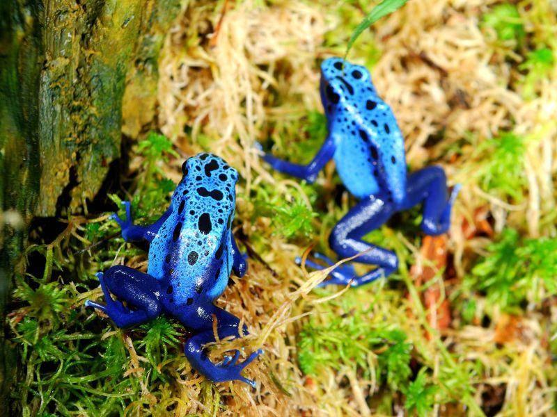Färberfrosch: Faszinierend, aber giftig — Bil: Shutterstock / Aleksey Stemmer