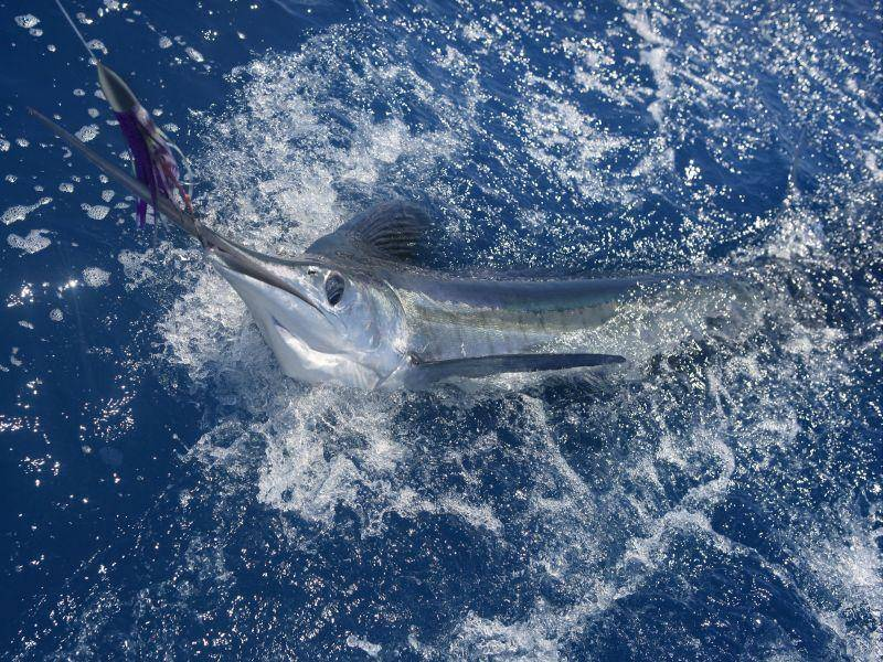 Blauer Marlin: Schwimmt bis zu 120 km/h schnell — Bild: Shutterstock / holbox