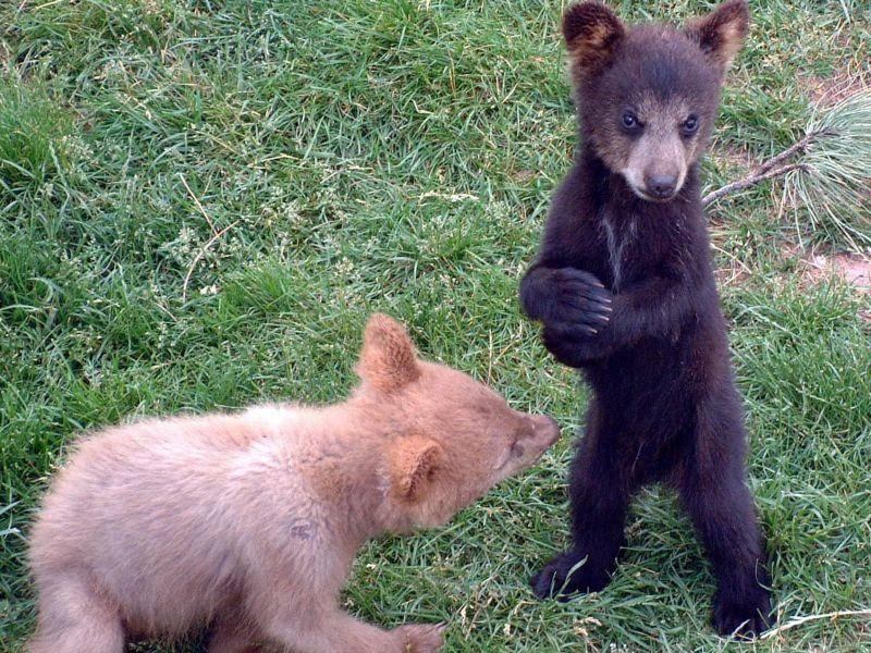 Braunbären beim Spielen: Süße kleine Sportsfreunde — Bild: Shutterstock / Jacqueline Watson